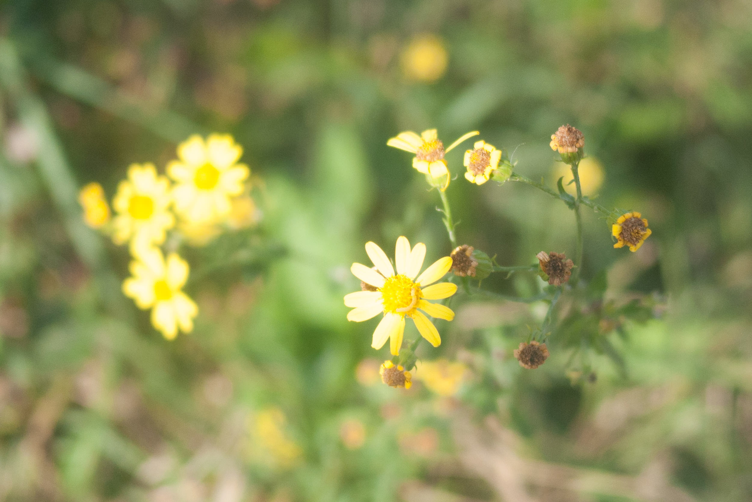 Pretty Yellow Flowers Photos Firm Gently Painting Photography
